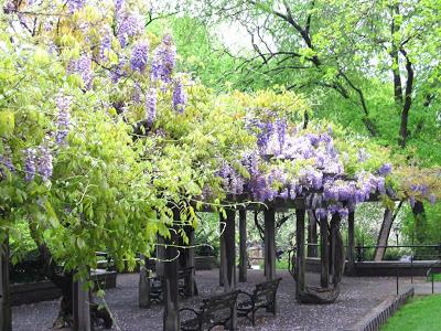 Central Park wisteria pergola