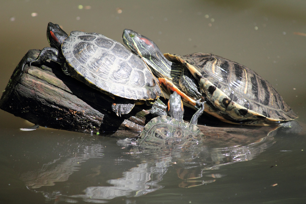 tartaruga-nova-york